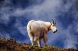 Mountain goats in Washington state - 183895102