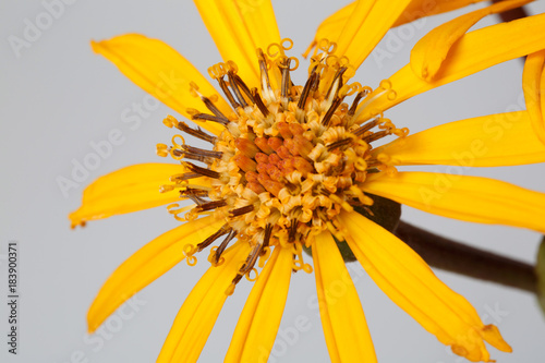 Yellow flower Ligularia isolated on a gray background, macro.