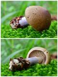 cortinarius torvus mushroom - 183908156