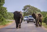 African bush elephant in Kruger National park, South Africa - 183916577