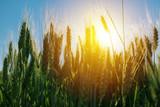 Green barley field - 183924925