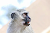 Vervet Monkey - 183926178