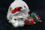 White dog, West Highland White Terrier, with a funny Christmas hat and gifts, black background - 183927137