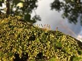 Camphor tree and moss - 183933334