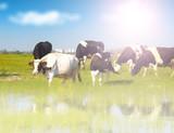 Calves on the field - 183934155