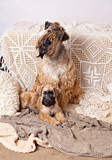 Irish Soft Coated Wheaten Terrier bitch and her  little puppy - 183940936