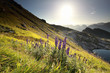 Quadro morning sunshine over alpine flowers in mountains