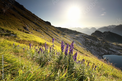 morning sunshine over alpine flowers in mountains