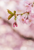 Branch of pink delicate cherry blossom in spring. - 183952932