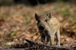 Leinwanddruck Bild - Wildschwein Frischling im Fruehjahr, Schwarzwild