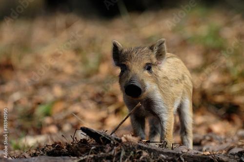 Leinwanddruck Bild Wildschwein Frischling im Fruehjahr, Schwarzwild