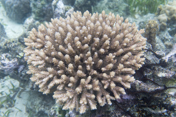 Beautiful acropora coral in the sea of Sulawesi