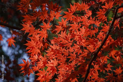 Aluminium Rood traf. Beautiful fall color of Komyo-ji