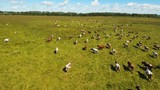 Aerial view cows graze on a green pasture on a summer day. Herd cows on a summer pasture. Aerial footage, 4K video. - 183987166