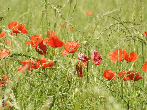 Plexiglas Klaprozen Buttons of gold, and poppies enliven the fields of summer by their color and delicacy.