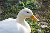 Bright white domestic goose - 184000148