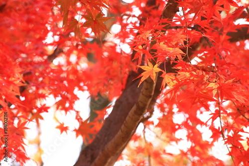 In de dag Rood 鮮やかなモミジの紅葉