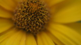 Yellow daisy flower isolated - 184004928