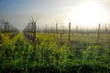 Napa Vineyard with Mustard
