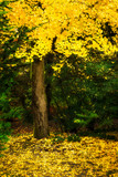 Tree with yellow fall foliage in Seattle's Kubota Garden - 184013125