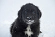 Young newfoundland puppy
