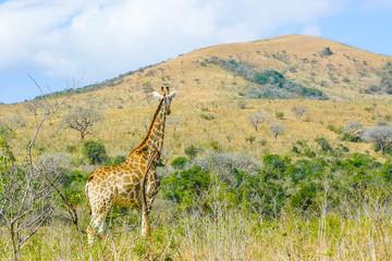 giraffe in its habitat umfolozi national park