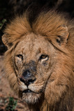 The 'Scar Nose' Male of the Majingilane Lion Coalition - 184026964