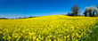 Quadro Yellow colza field