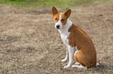 Mature basenji dog sitting on the ground at warm spring day - 184036356