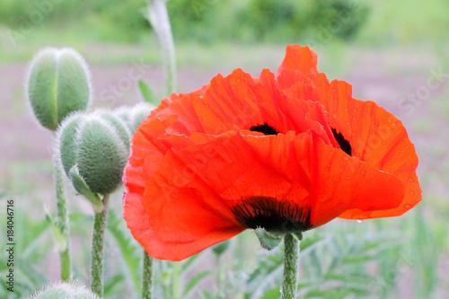 Keuken foto achterwand Purper Close-up of red poppy flowers in summer.
