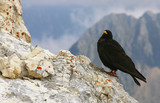 Chough standing on the limestone rock with mountais on background - 184056393