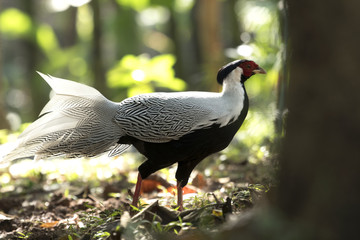 Silver Pheasant Birds in Thailand and Southeast Asia.