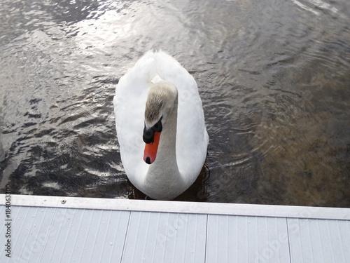 Fotobehang Zwaan Swan closeup