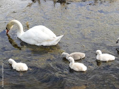 Fotobehang Zwaan Swan and Babies