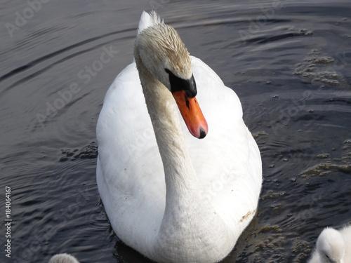 Fotobehang Zwaan Swan