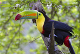 Keel-Billed Toucan (Ramphastos sulfuratus), Limon, Costa Rica. - 184064336