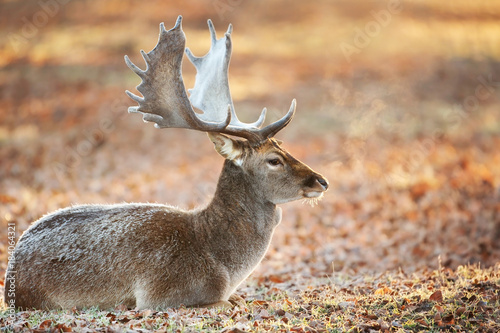 Fotobehang Hert Adult male fallow deer lying on the frosted leaves against colourful background, in late autumn - early winter. Deer breath against morning light on a cold winter morning.