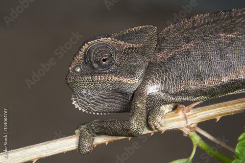 Plexiglas Kameleon Common Chameleon (Chamaeleo chamaeleon) portrait, Beers Sheva, Israel
