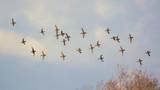 stormo di anatre selvatiche in volo,alzavole su sfondo cielo,Anas crecca - 184065180