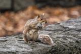 Sitting squirrel - 184065367