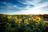 Beautiful sunflowers in field