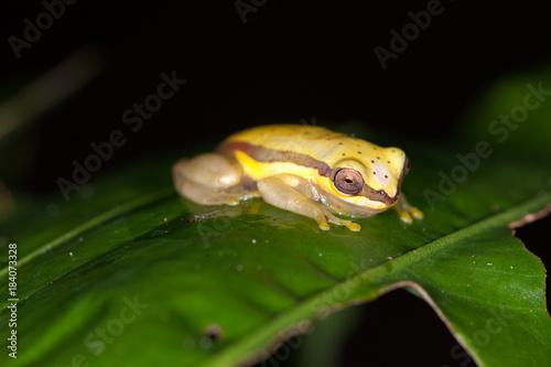 Aluminium Kikker Frog on a leaf in amazon rain forest, Peru
