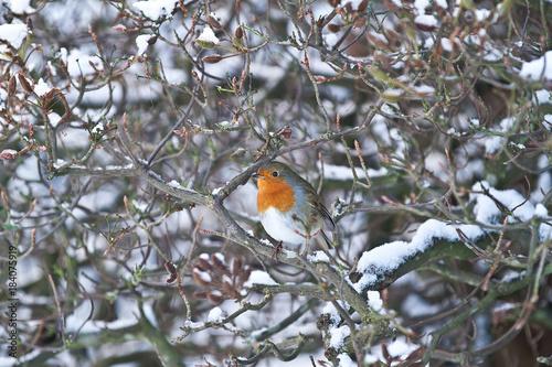 European Robin bird perching