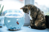 Cat looking at a fish in an aquarium on the window. Cat with tongue outside. Cat watching the fish. Cat want to catch fish. Vintage, Rustic style. - 184088369