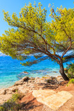 Green pine tree on sea coast near Zlatni Rat at Bol on Brac island in summertime, Croatia - 184088967