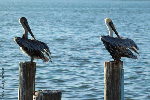 Two pelicans standing on wooden posts over the waterway Poster