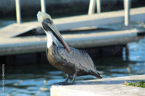 White headed pelican standing on a seawall Poster