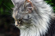 Cat Maine Coon open air