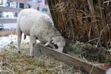 Weißes Schaf frisst Heu in einer Krippe auf dem Weihnachtsmarkt - 184093947