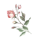 The image of a rose.Hand draw watercolor illustration - 184094715